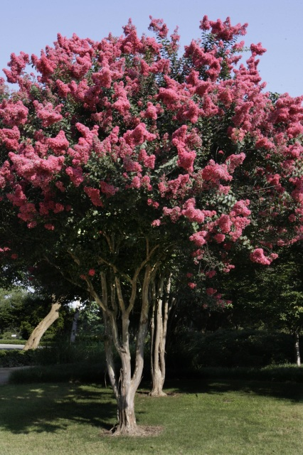 Medium Height Crape Myrtles For Sale