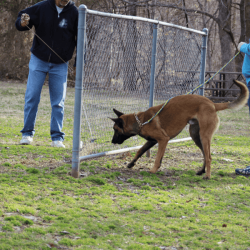 Protection Dog Training Memphis