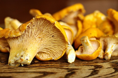 Golden-Chanterelles-on-oak