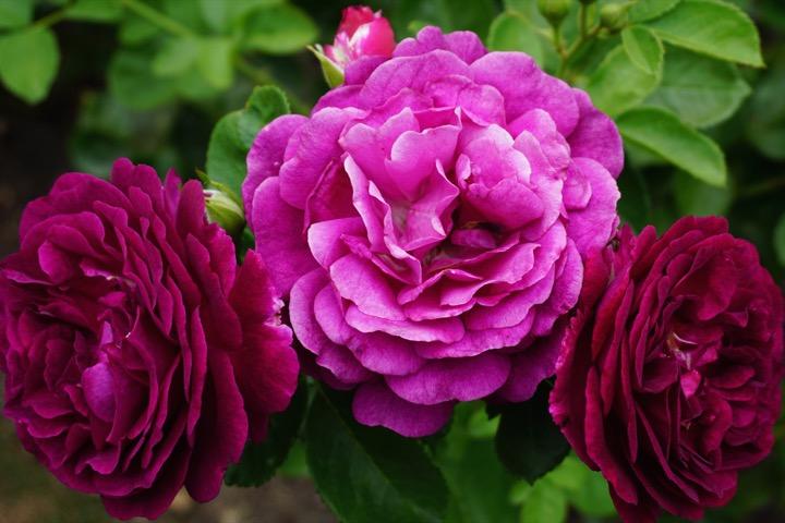Georgia O'Keeffe Rose Garden