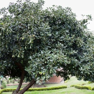 Awokado nie wygląda zbyt poważnie zwisając z drzewa na sznurkach. W dodatku po polsku nazywa się smaczliwka. fot. JKdrumdoc