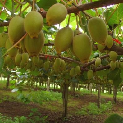 Kiwi rosną na plantacjach, trochę niczym winogrona. No i po polsku nazywają się aktinidia smakowita. Fot. - scazza_
