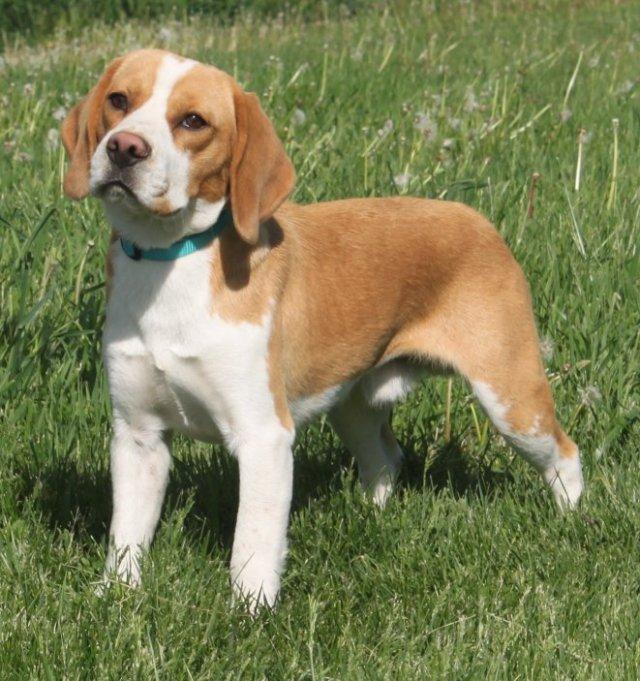 white-tan-color-beagle