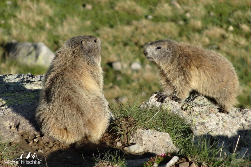 Marmottes 3