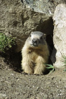 Marmottes 8