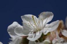 Fleur cerisier