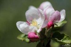 Fleur pommier