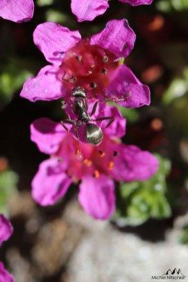 Fourmi fleurs