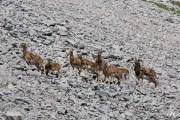 Mouflons 3