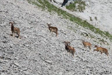 Mouflons 5