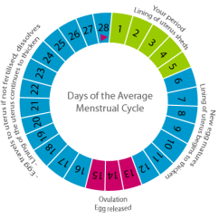 Menstrual Cycle Diagram With Ovulation Ba Falcon Wiring Stereo The Three Phases In Of A Woman