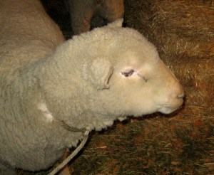 Back To Bethlehem - Sheep