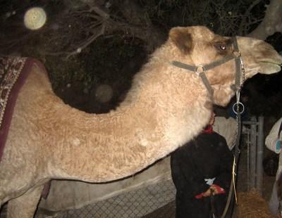 Back To Bethlehem - Camel