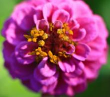 Renee Flower