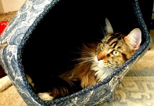 Magellan Lounging In His Cat Ball