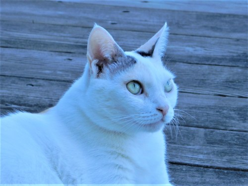 Asami The Japanese Bobtail Cat