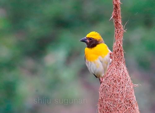 Weaver Guarding His Nest