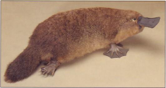 the platypus creation engineering