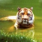 tigres-bain