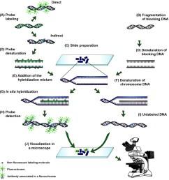 the process of genomic in situ hybridization [ 1020 x 1058 Pixel ]