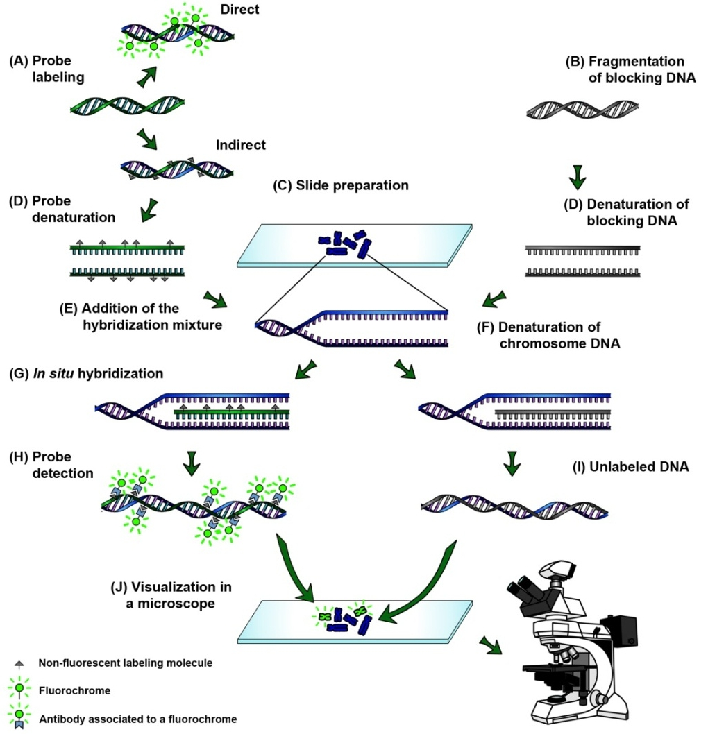 hight resolution of the process of genomic in situ hybridization