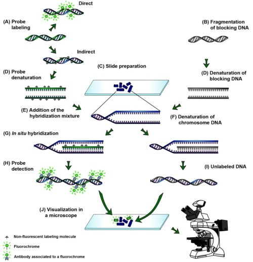 small resolution of the process of genomic in situ hybridization
