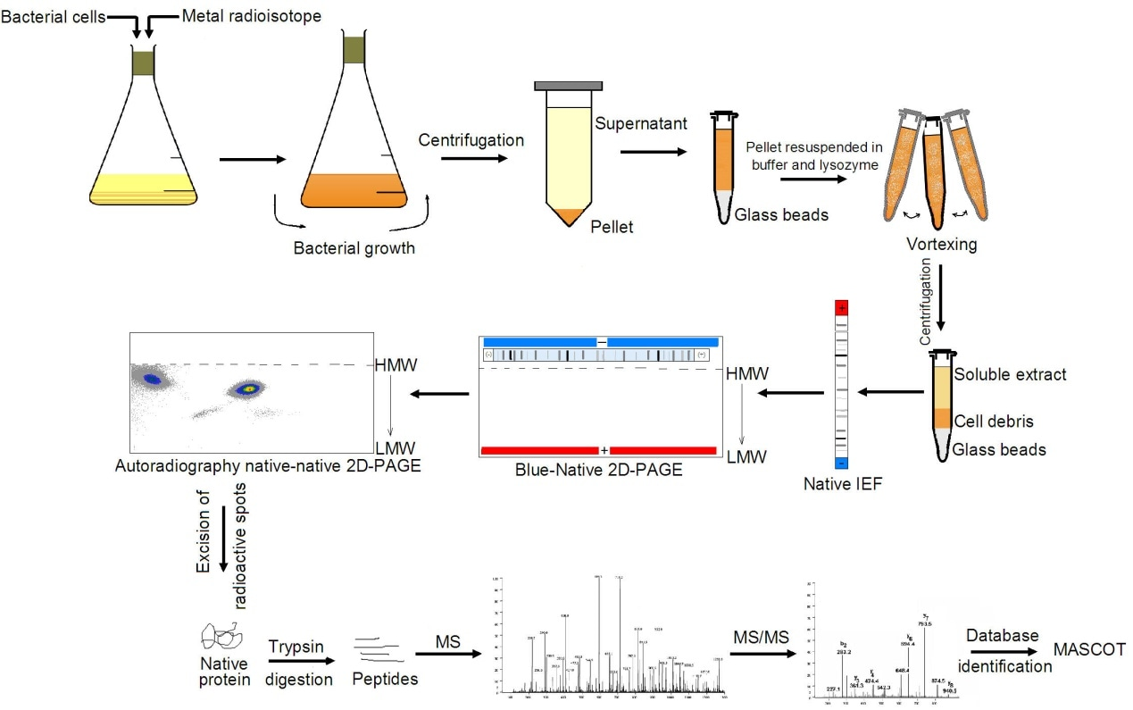 2D Blue Native - Creative Proteomics