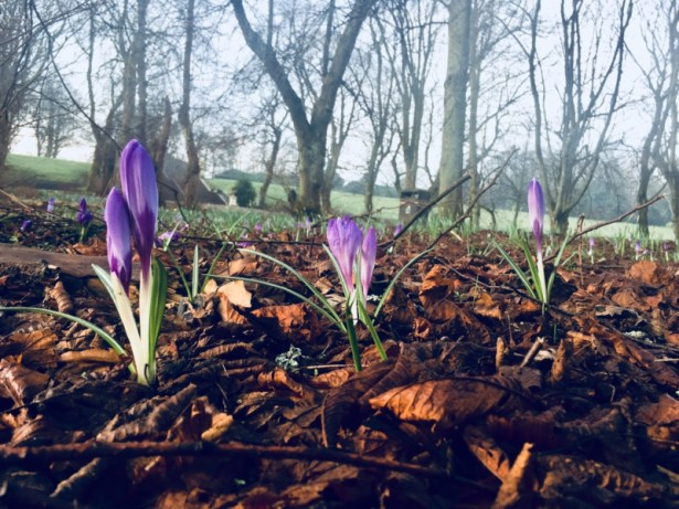 Purple crocuses in leaf litter, bare treas in the background