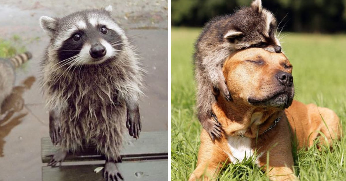 10 Trash Panda Pics That Prove Theyre The Cutest Animal In The World  Gift Ideas  Creative