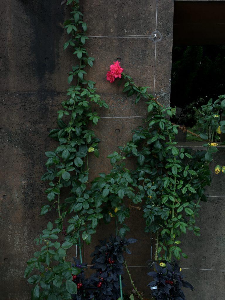 Roses in Yamashita Park in Yokohama - iPhone 6S Plus Camera Review