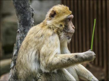 Prüfender Affe