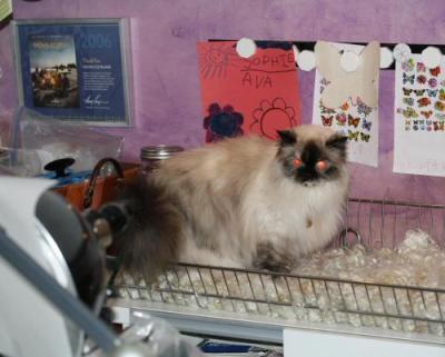 Cat meets Angora…