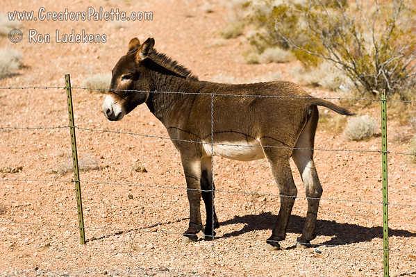 Burro behind Fence 2
