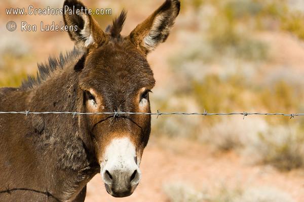 Burro behind Fence