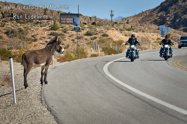 Wild Burro and Motorcycles