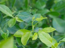 EUONYMUS MANHATTAN | CreekSide Tree Nursery