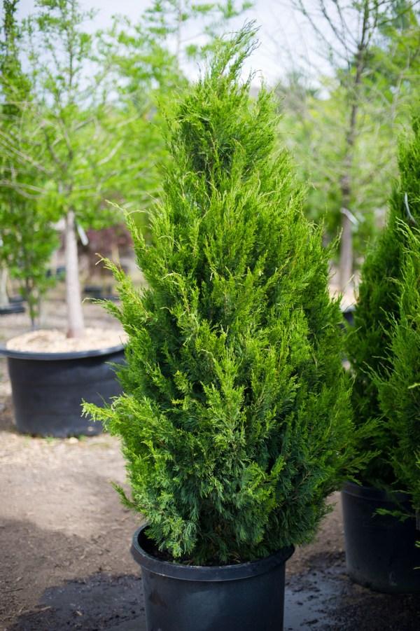 juniper tree nursery thenurseries
