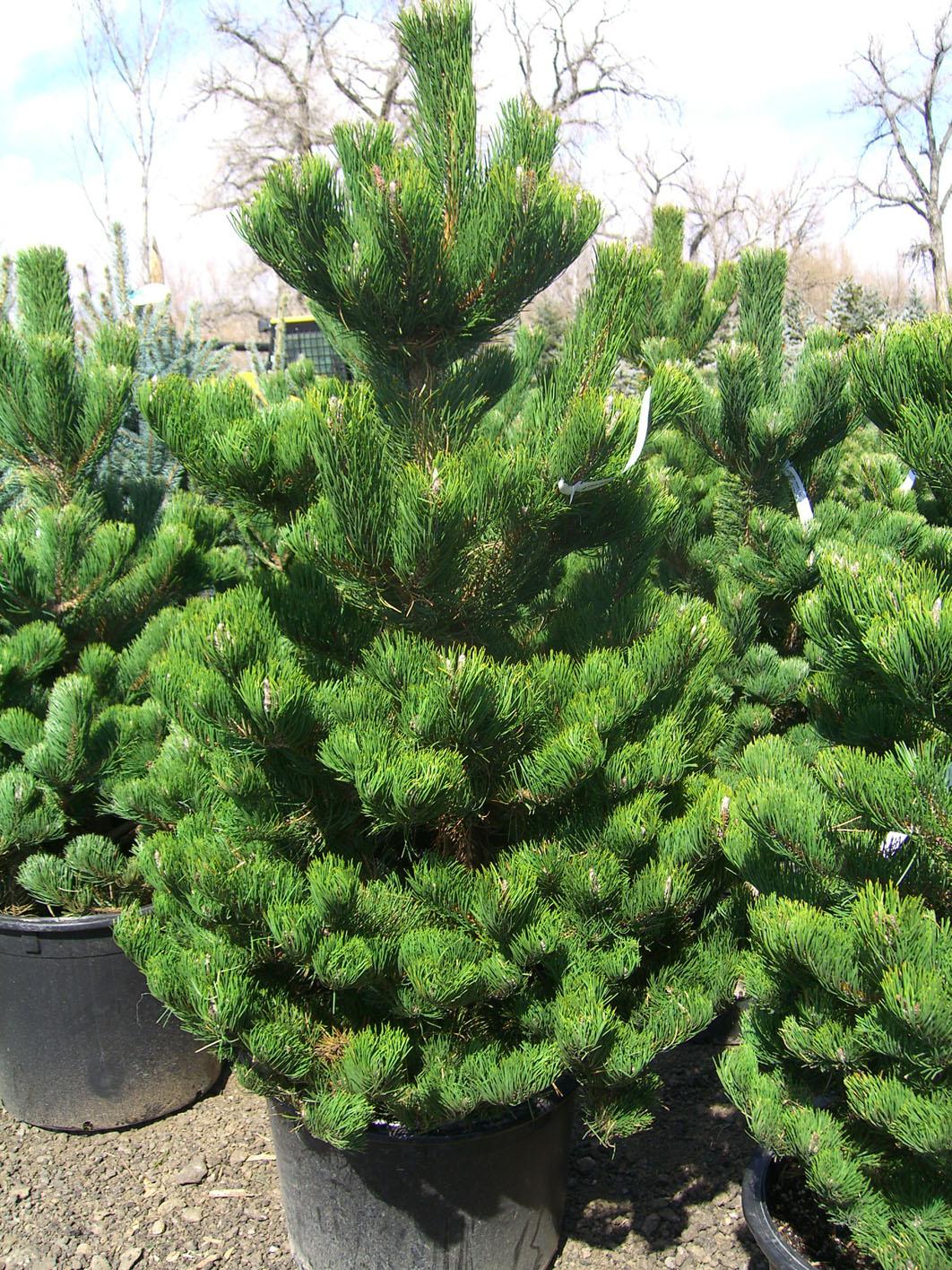 pine oregon green