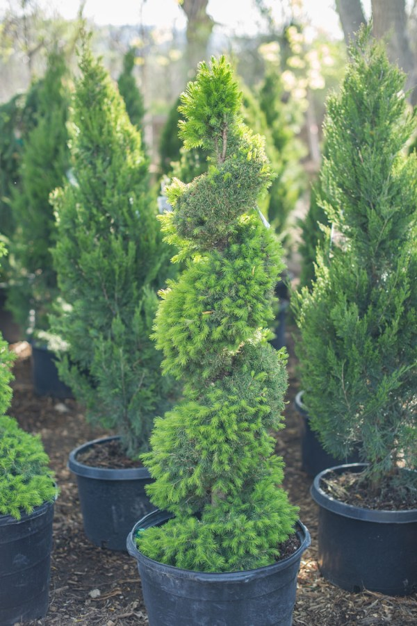 spruce dwarf alberta