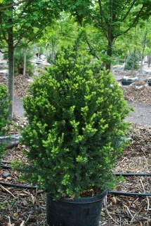 Hicks Yews Shrubs - Garden Design Ideas