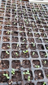 pansy seedlings
