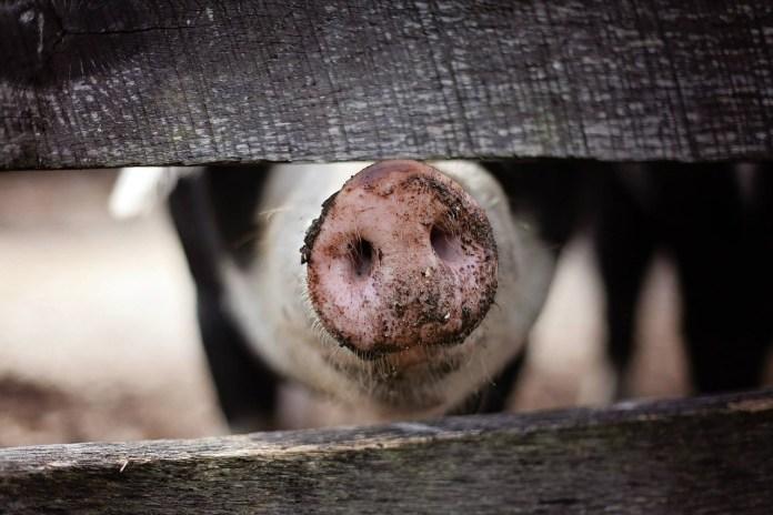 Allevamento di maiali, foto generica da Pixbay