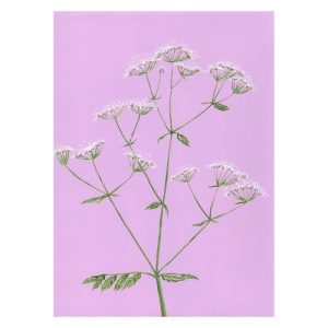 COW PARSLEY Greeting Cards, pack of 6