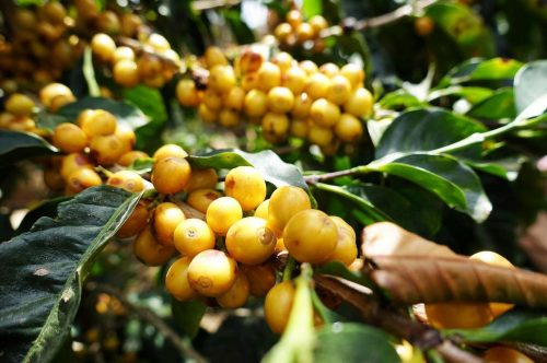 Brazil Sao Sesbastiao. Natural Process. Yellow Catuai. Rich and Milk Chocolatey. Ground for Espresso