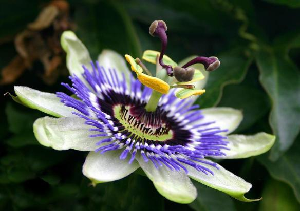 Passion Flower...Fully grown, amazing and unique!