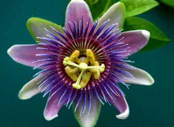 The Passion flower bears a stunning resemblance to a Pinwheel.