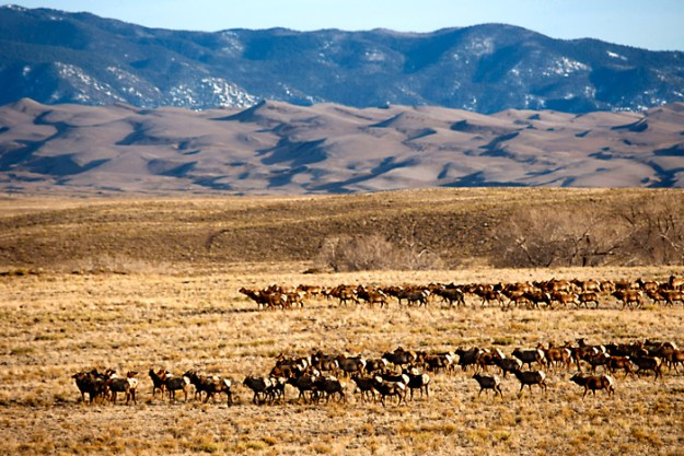 Several thousand elk live on the Baca Wildlife Refuge and Great Sand Dunes National Park. photo by Bill Ellzey