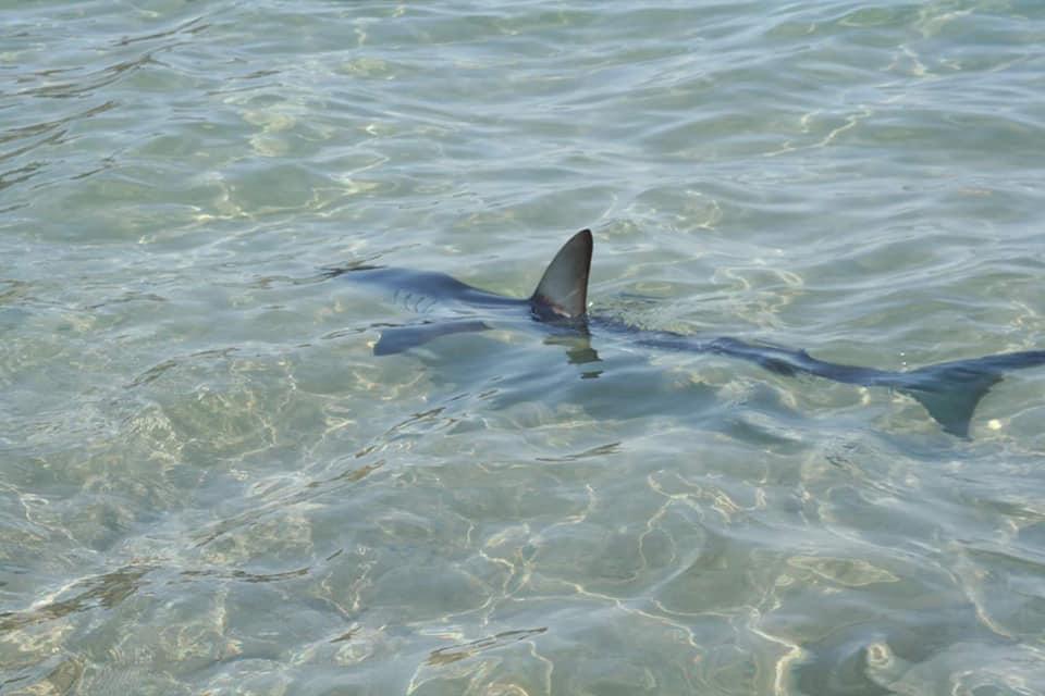 Ρυγχοκαρχαρίας πήγε για... ρακέτες στον Πλακιά