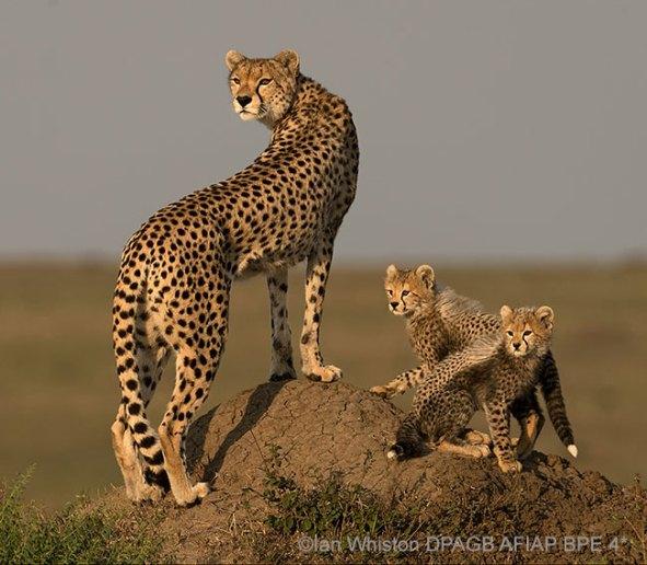 Cheetahs-Looking-for-Prey-BK