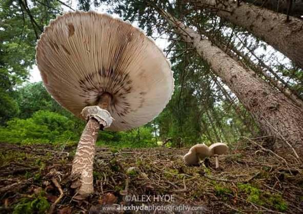 parasol-mushrooms-lepiota-procera-alex-hyde